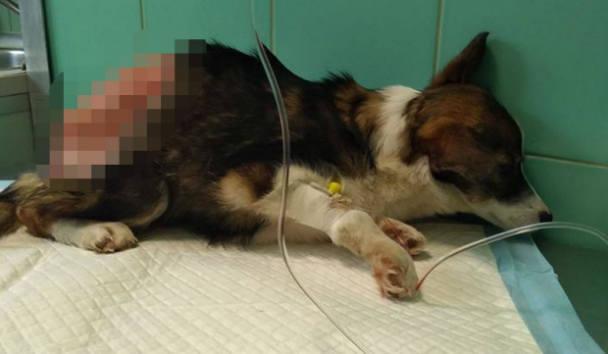 - W naszej długoletniej historii pomocy bezdomnym zwierzętom nie mieliśmy tak drastycznego przypadku. Ta suczka nie miała skóry od połowy ciała, nie