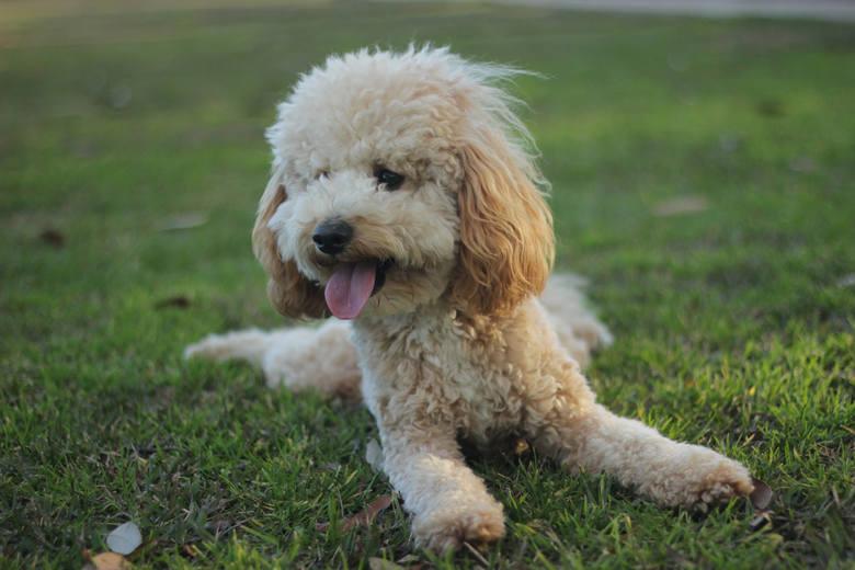 Z jednej strony marzy ci się pies z imponującą i miłą w dotyku sierścią, a z drugiej strony zaczyna boleć cię głowa na samą myśl o linieniu i psich kłaczkach