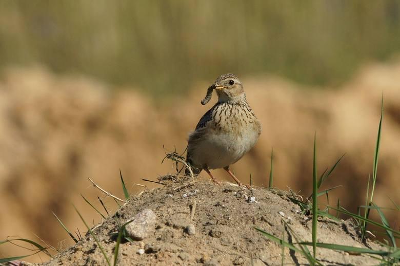 Zniknęły siewki, zagrożone są ptaki otwartego krajobrazu rolniczego