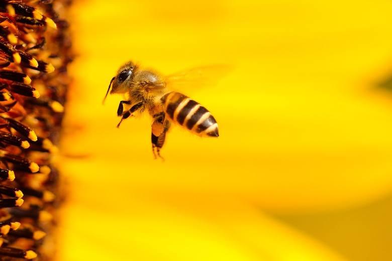 Obalamy mity o pszczołach. Z okazji Światowego Dnia Pszczół warto poznać kilka faktów o tych pożytecznych owadach