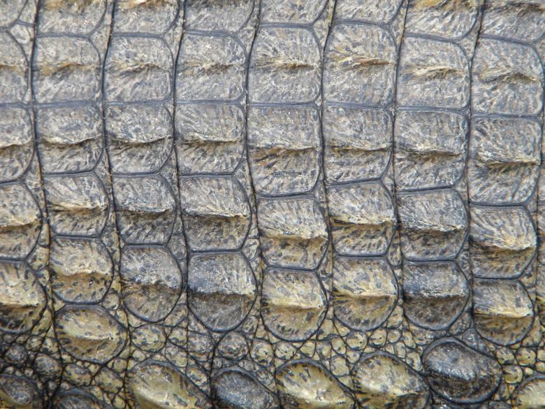 Wyroby ze skóry: krokodyli, waranów, węży (boa, pytony, anakondy).