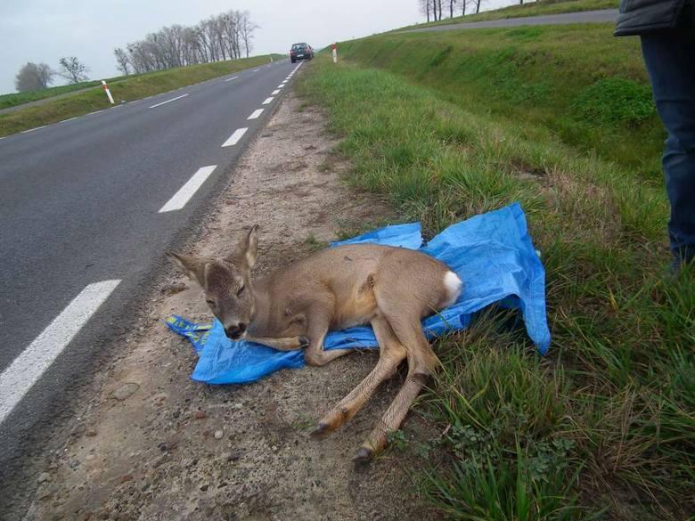 Sarna potrącona na drodze pod Murowaną Gośliną w listopadzie 2014