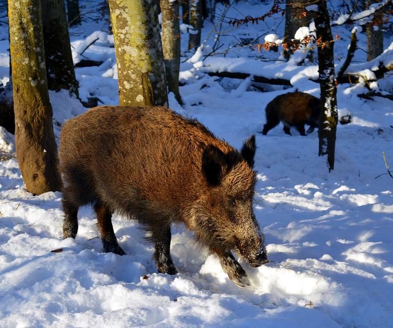 Stanisław Kalemba: - Afrykański pomór świń szkodzi wszystkim. Nie mam sobie nic do zarzucenia [rozmowa]
