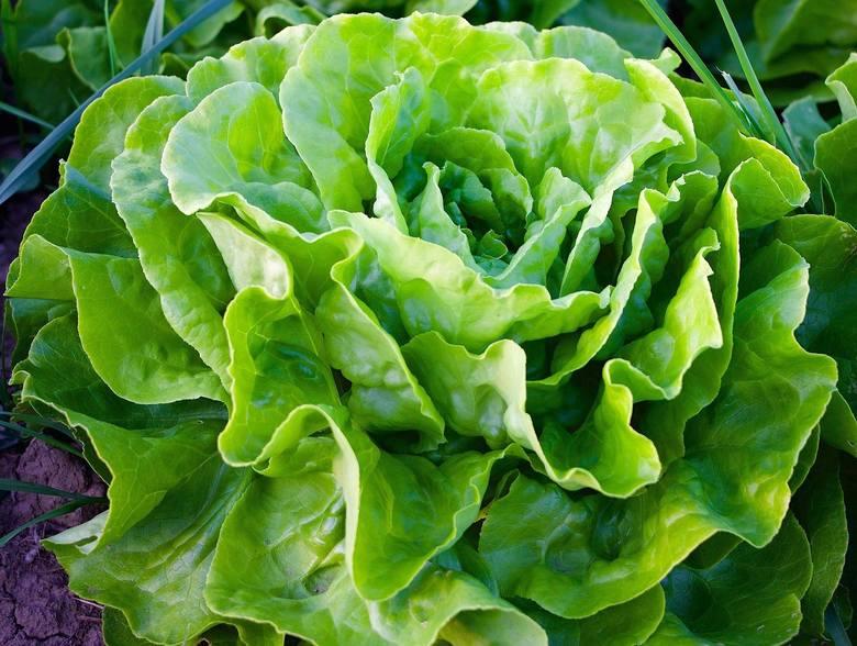 Sałata to kolejne warzywo, które na balkonie sobie świetnie poradzi. Plus klasycznej sałaty tzw. rozetowej, możemy posadzić też inne odmiany.