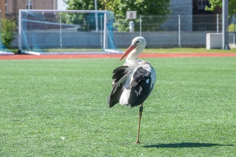 Ptak przezimował w ptasim zimowisku, w towarzystwie innych azylowych bocianów.