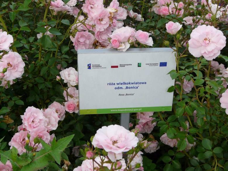 To oaza pełna kolorowych róż i innych kwiatów. Gdzie? W Łasku!