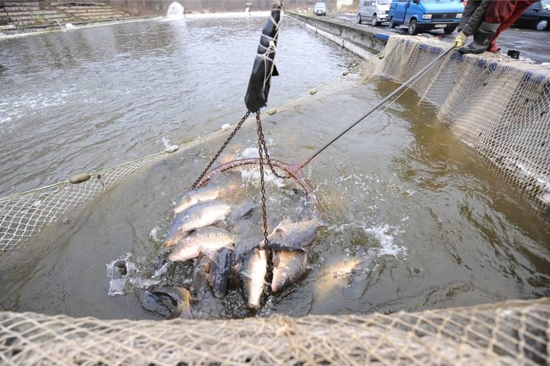 14.12.2017. przetocznica gmina skape gospodarstwo rybackie zbaszyn polow karpia karpi ryb odlow odlawianie staw rybny ryba ryby karp karpie tel do dyr