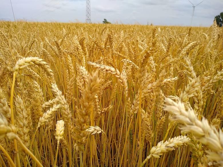 Pomoc po suszy 2019. Czy będzie dopłata do hektara? Odpowiada minister Ardanowski [wideo]