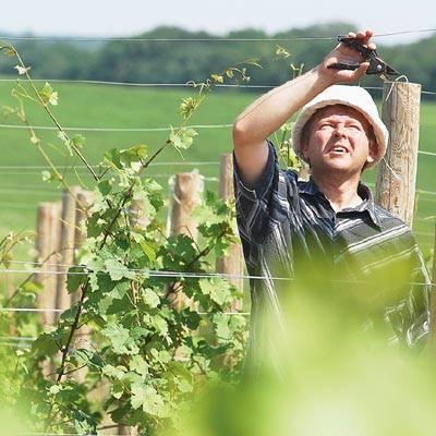 Dlaczego miasto miałoby zainwestować w winnice w okolicach Zaboru? Bo ta uprawa się tutaj udaje i Zielona Góra może na tym skorzystać!