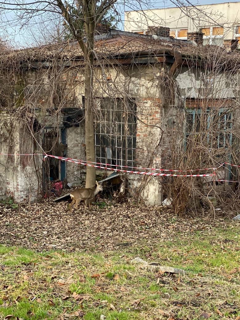 Głodna sarna w poszukiwaniu jedzenia zgubiła się na ul. Leszczyńskiego w Przemyślu. Zwierzę nie potrafiło wydostaćsię z posesji. Policjanci powiadomili