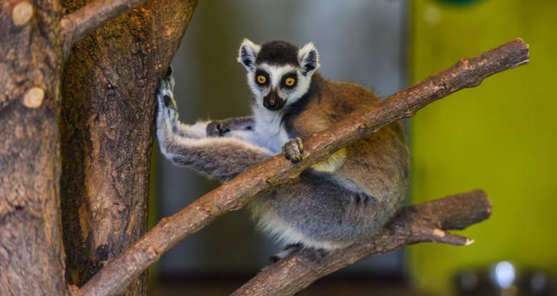 Jesienią niektórzy mieszkańcy myślęcińskiego ogrodu zoologicznego jedzą więcej niż zwykle. Bo to czas, by przed zimą obrosnąć w tłuszcz.