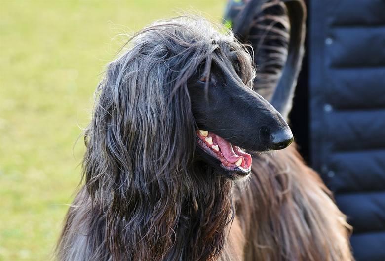 1.CHART AFGAŃSKIRasa chartów afgańskich zajęła ostatnie miejsce w rankingu inteligencji psów. Jest to jedna z najstarszych ras i pierwotnie służyła do