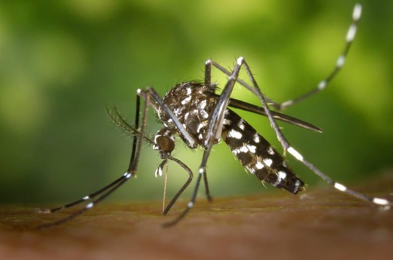 Komar tygrysi: Aedes albopictusNieznany wcześniej w Europie komar, tzw. azjatycki bądź tygrysi ze względu na charakterystyczne paski na odwłoku, z czasem