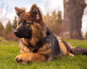 Jeśli szukacie psa rodzinnego, lojalnego, czułego i lubiącego zabawy z dziećmi - te zwierzaki są najlepsze, aby stały się członkami Waszego domu.Owczarek