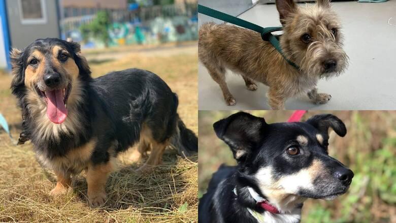Psie piękności ze czekają na swoje domy. Prezentujemy kolejnych czworonożnych mieszkańców Schroniska dla Bezdomnych Zwierząt w Dyminach, które czekają
