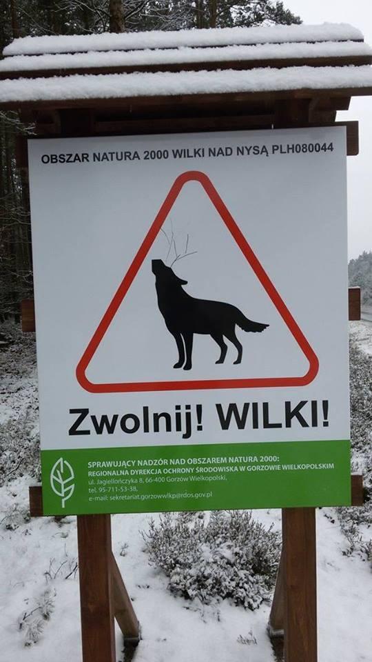 Wataha wilków w lubuskich lasach. Tak wygląda piękno natury [WIDEO]