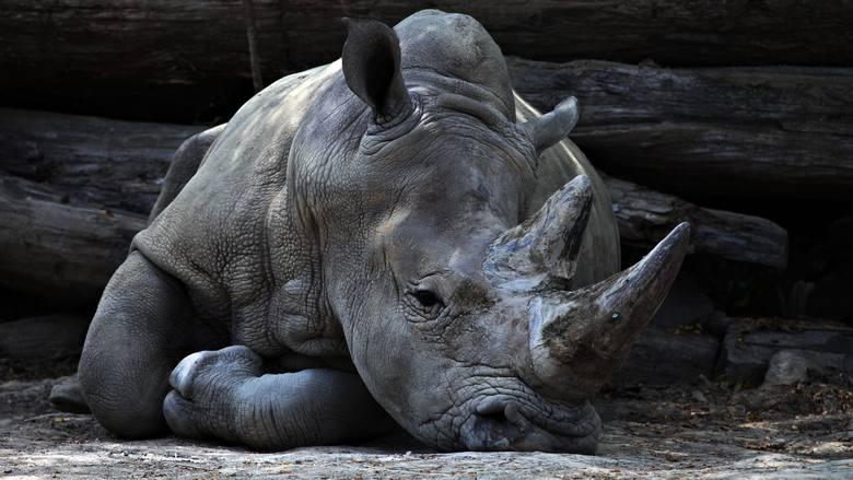 Tych zwierząt już nie spotkasz - gatunki, które wyginęły w ciągu Twojego życia