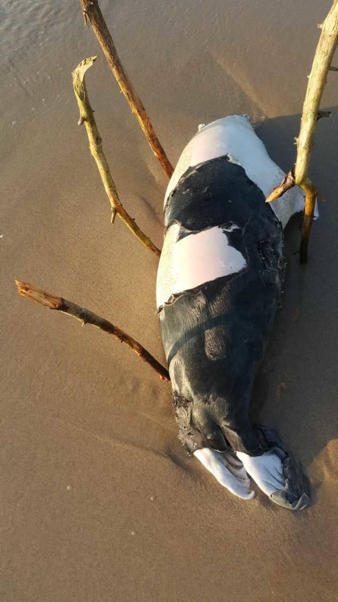 Morze wyrzuciło na brzeg martwą fokę.