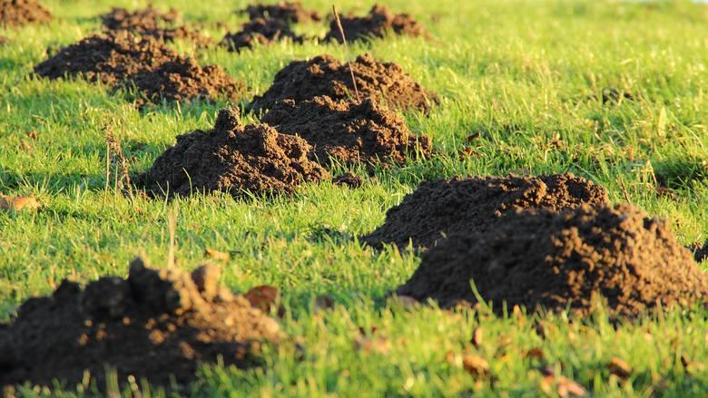 Takie są sposoby na kreta w ogrodzie. Tak możesz odstraszyć zwierzę, które ryje na działce