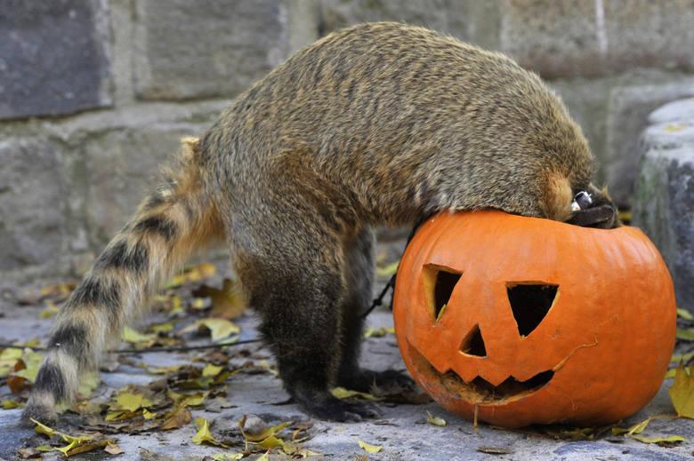 Halloween to nie tylko święto duchów. W ostatnią noc października dobrze bawią się nie tylko ludzie, ale również zwierzęta. Zobaczcie, jak ze swoich