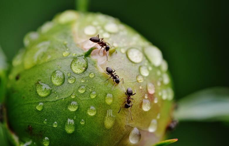 Oto sposoby na mrówki w ogrodzie. Odstraszają je te rośliny lub składniki z kuchni [lista metod]