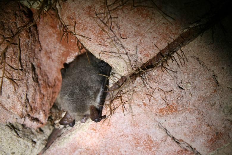 Nietoperze przesypiają zimę. Nie można im przeszkadzać, bo wybudzenie może kosztować ich życie <br />