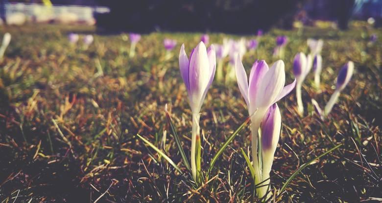 Nasz Czytelnik przysłał do redakcji zdjęcia kwiatów, które pojawiły się w Ośnie Lubuskim. Czy to oznacza, że wiosna zawita do nas wcześniej?