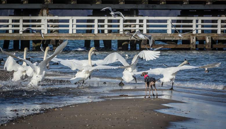 Czym jest grypa ptaków? Pierwsze wzmianki o tajemniczej chorobie ptaków pochodzą ze starożytności. W końcu lat 90 XX wieku pierwszy raz szczegółowo opisano