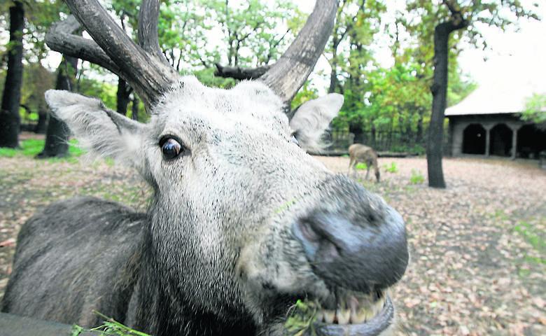 Ekolodzy są w szoku! Babiogórski Park Narodowy chce zastrzelić kilkadziesiąt swoich jeleni