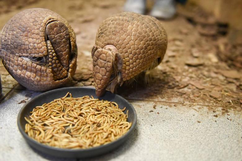 Gustlik z Honoratą przełamali lody - pancerniki w toruńskim zoo
