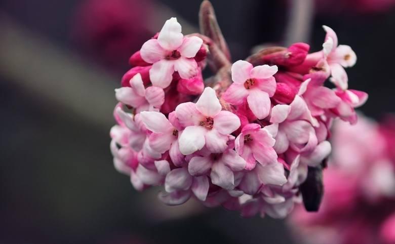 Nazwa tego krzewu nie kłamie – jego kwiaty pięknie pachną. A mogą pojawiać się od jesieni, przez całą zimę, aż do wczesnej wiosny (termin kwitnienia