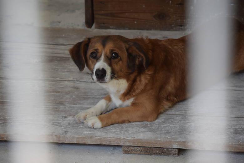 Wciąż można wyprowadzać psy ze schroniska. Trzeba jednak uważać na dziki, które świetnie czują się w lesie przy ul. Szwajcarskiej.