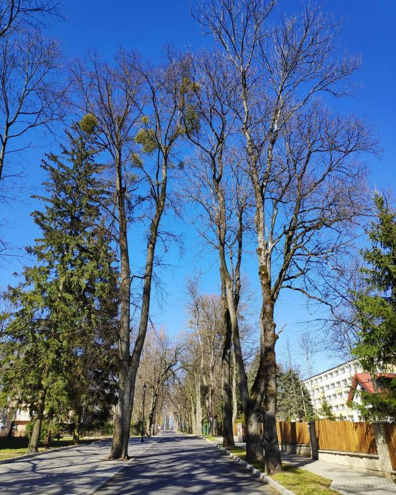 Las Dyrekcyjny w Białowieży