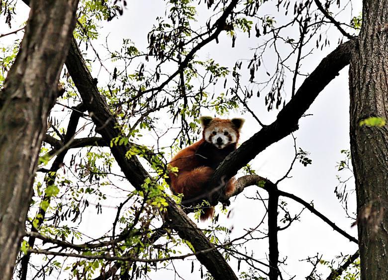 ZOO w Łodzi możemy odwiedzać od środy. Na zwiedzających czekają zwierzęta, które urodziły się w czasie dwumiesięcznej kwarantanny. Są to mały lemur katta