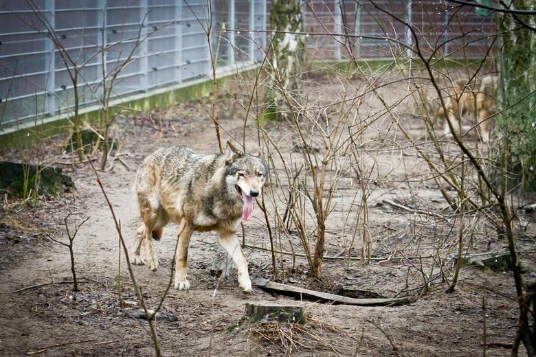 Wilki można podziwiać także w bydgoskim Myślęcinku.