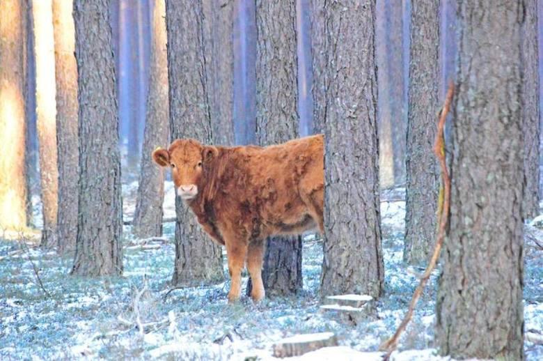 Krowa w kościerskim lesie
