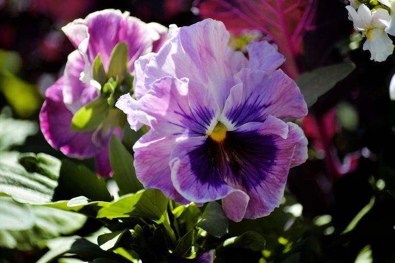 Bratki to jedne w najbardziej wdzięcznych balkonowych kwiatów. Mają obecnie setki odmian o różnych kolorach kwiatów, a także wielobarwnych kwiatach.