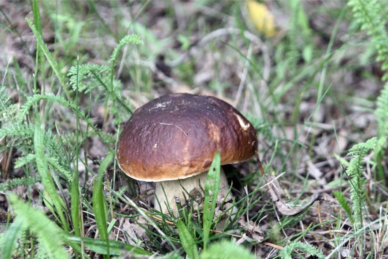 W powiecie olkuskim na grzyby najlepiej wybrać się do lasów w okolicach Gorenic i Bukowna.