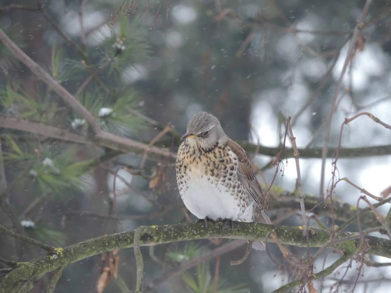 W Małkini Górnej znowu liczyli ptaki. Najwięcej jest trznadli i mazurków [ZDJĘCIA]