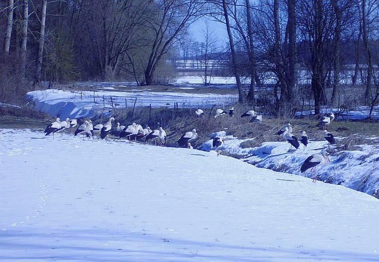Patoki. Czterdzieści bocianów marznie na śniegu (zdjęcia)