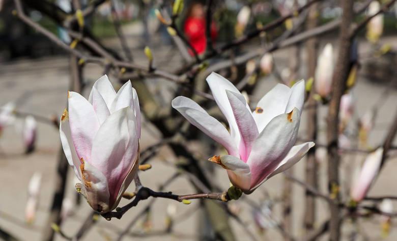 Kwitnące magnolie w Szczecinie. Wiosna w naszym mieście