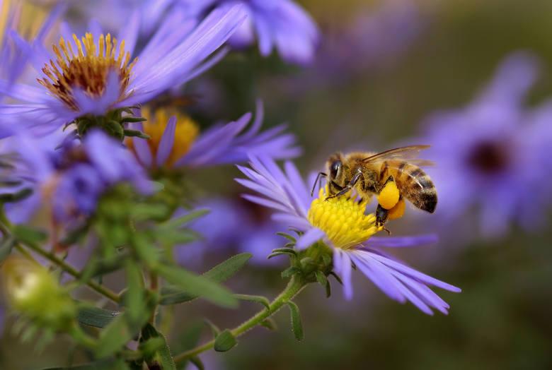 PSZCZOŁA MIODNAdługość ciała: ok. 15 mmBardzo pożyteczny owad zapylający. Nie wolno go zabijać. Jeśli zobaczymy pszczołę pozbawioną sił, należy ją napoić