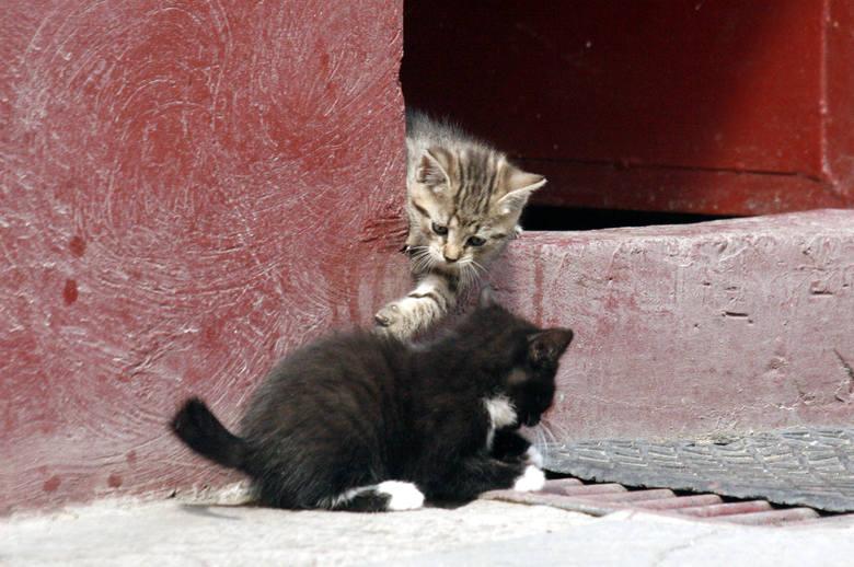 Koty domowe wywodzą się od kotów nubijskich. Jak się okazało, ich przodkowie dotarli na polskie ziemie podążając za pierwszymi rolnikami