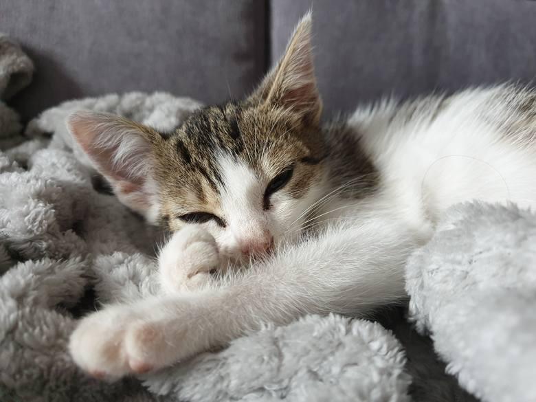 Mała, trzymiesięczna kotka o niezwykłym charakterze i pięknych oczach szuka domu
