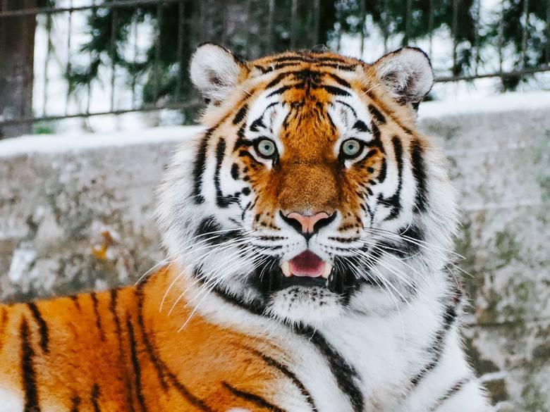 Człowiek nie może zarazić się koronawirusem od zwierząt. Okazuje się jednak, że zwierzę może zarazić się od człowieka. Chory na koronawirusa jest tygrys