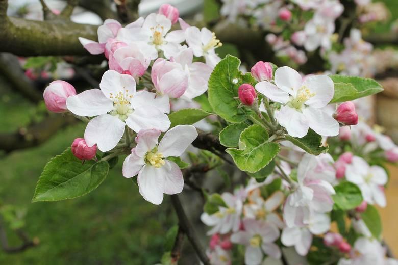Parch jabłoni - kiedy i jak go zwalczać? Zagrożenie możliwe m.in. w powiecie rypińskim