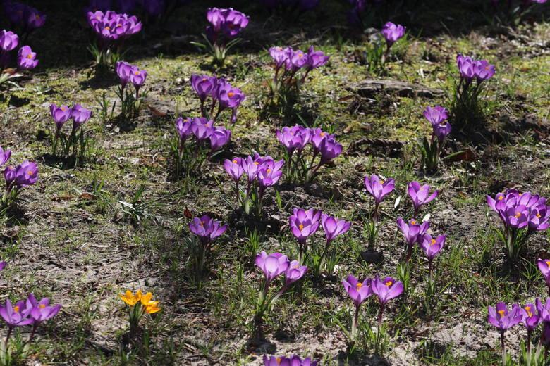 W Parku Śląskim zrobiło się wiosennie. Już kwitną krokusy. Będą też nowe nasadzenia