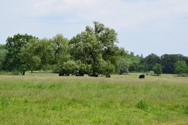 Przez pewien czas krowy były w zagrodzie, aktualnie przebywają w rezerwacie.