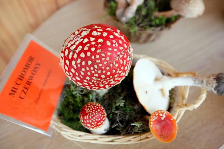 <strong>Muchomor czerwony (Amanita muscaria) - trujący</strong><br /> <br /> Średnica i kolor: Kapelusz ma od 5 do 15 cm średnicy. Przeważnie koloru czerwonego lub pomarańczowego - pokryty białymi plamkami. <br /> <br /> Blaszki: gęste, białe lub kremowe.<br /> <br /> Trzon: wysokość ok. 6-15 cm....