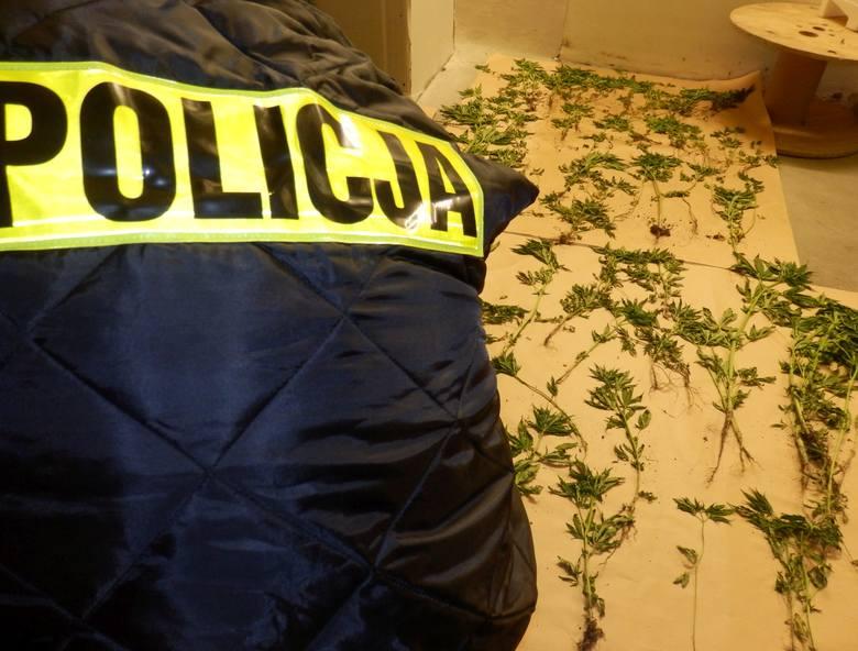 Łacznie policjanci zabezpieczyli 280 roślin